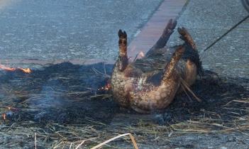 _cerdo quemado